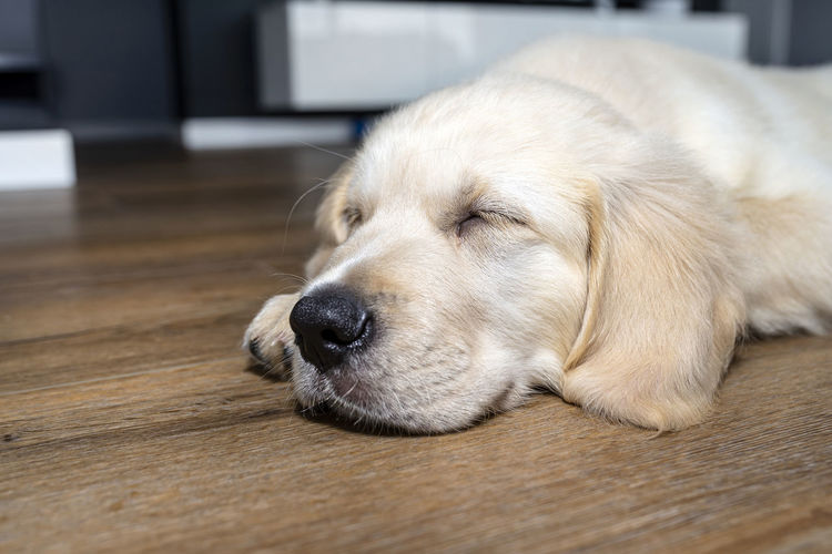 Close-up of dog lying on floor at home