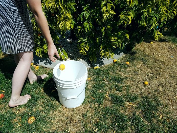 Low section of woman putting peach in container on field