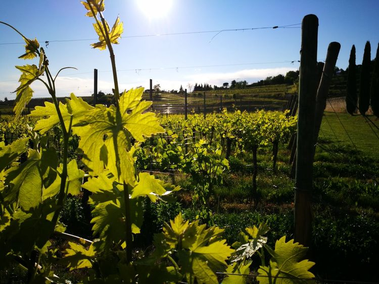 Valpolicella Agriculture Vigneti Villabertani Veneto Nature Sky Spring Colours Negrar Beauty In Nature Growth Plant Flower Rural Scene Crop  Field Outdoors No People Tree Scenics Day Freshness
