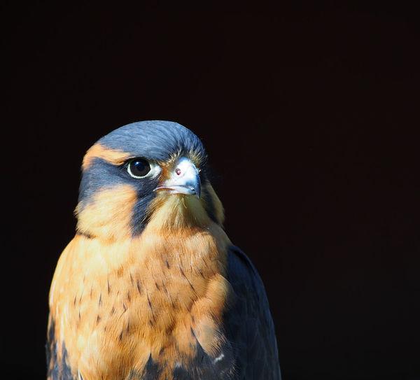 Close-up hawk looking away