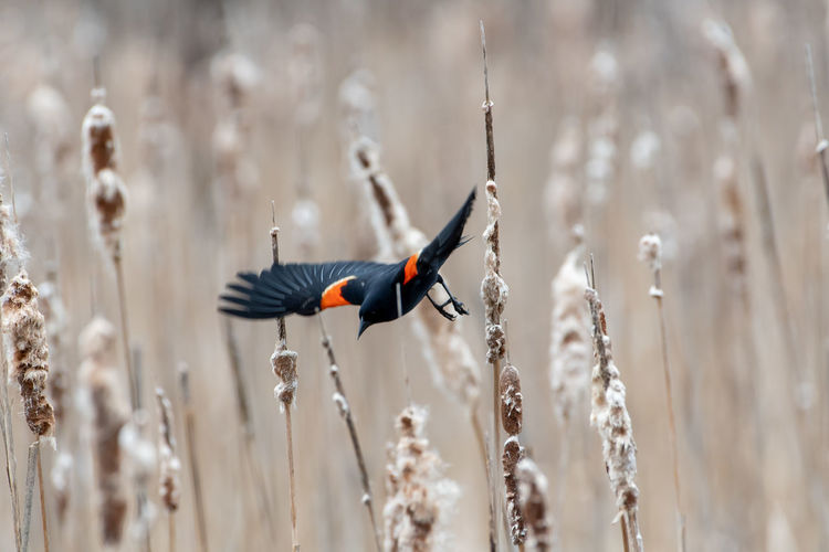 Male Red Winged