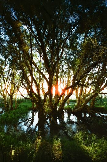 Forest Silhouettes Swamp Magichour Silhouette Tree Nature Outdoors Tranquil Scene Reflection Beauty In Nature Tranquility Scenics Lake Water Landscape Day Sunlight Forest No People Growth Willow Tree Sky Branch Grass