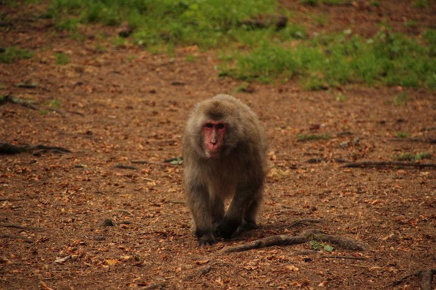 Japanese Macaque Baboon Ape