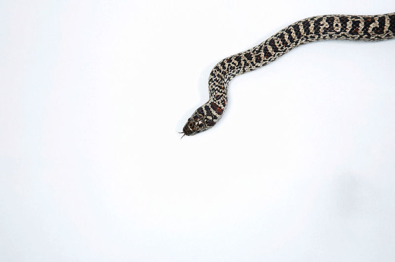 High angle view of snake on white background