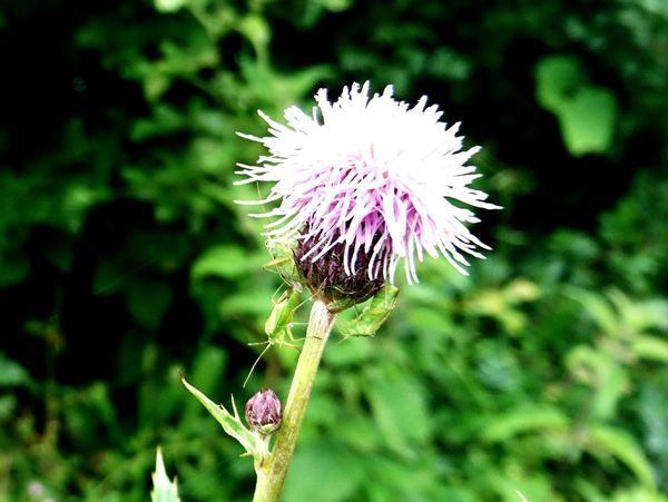 Thistle Green Bugs Flowers Insects  Hedgerow Countryside Wildlife Wildlife & Nature