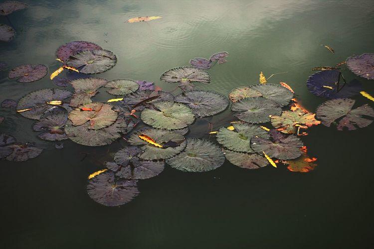 Waterplants No People Flower Water Close-up Day Outdoors Lotus Water Lily Lotus Lotus Leaf Waterplants