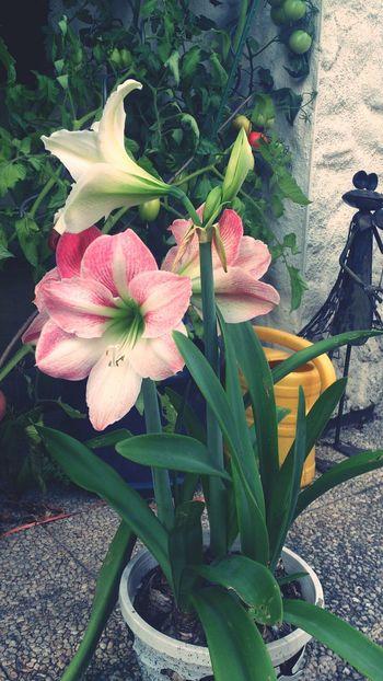 Amaryllis *.* bautiful <3 love this flower
