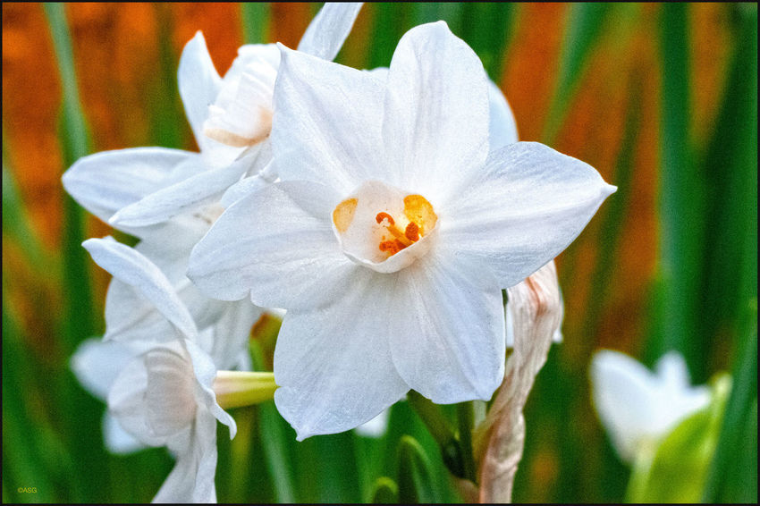 Paperwhite Narcissus plant - 11/21/18 Flowering Plant Malephotographerofthemonth EyeEmNewHere Close‐up Photography My Point Of View Freshness Beauty & Design In Nature Focus On Foreground