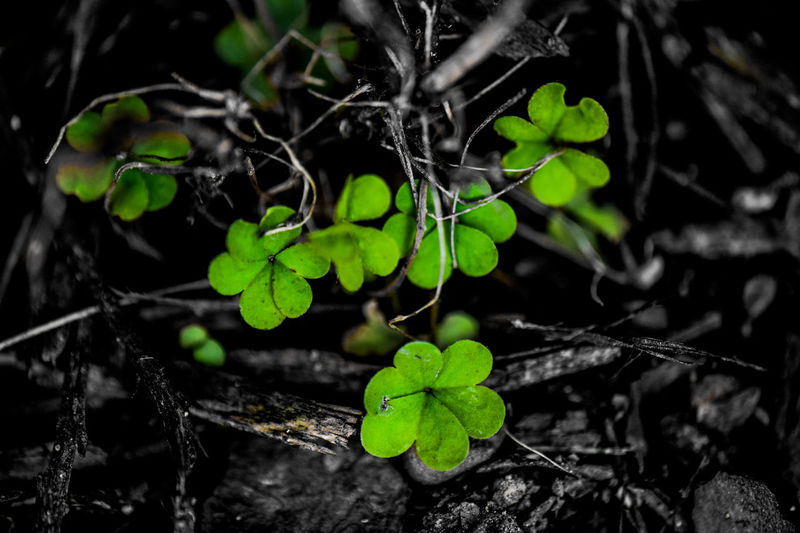 Clover Color Splash Green Happy Saint Patrick's Day! Happy St. Patricks Day Nature Nature On Your Doorstep Plant Shamrocks