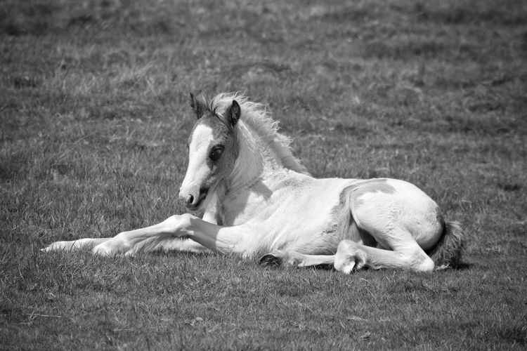 Foal Foal In Field Animals In The Wild Pets Animal Themes Mammal Domestic Animals Day Outdoors Nature Grass No People One Animal Horse Close Up Relaxed Cute New Born Black And White Monochrome Livestock Nature Close-up Laying Down Resting