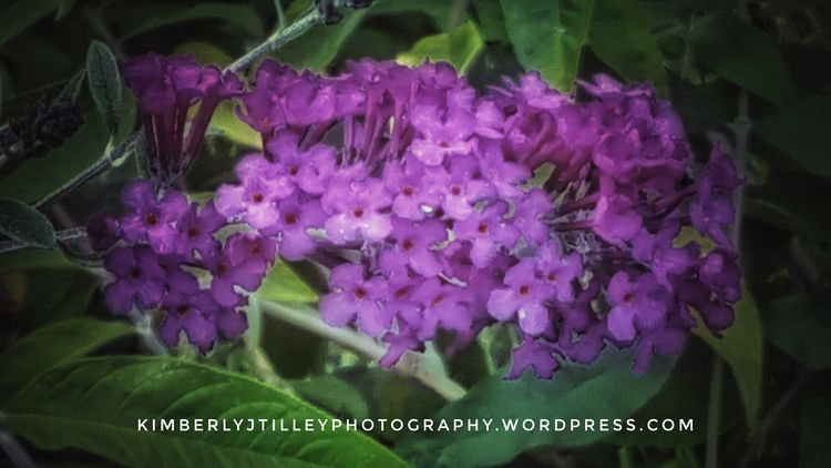 Flowers of a Butterfly Bush. Nature Outdoors Flower Purple KimberlyJTilley Garden Leaves