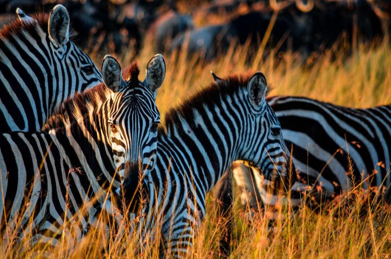 View of zebras in field