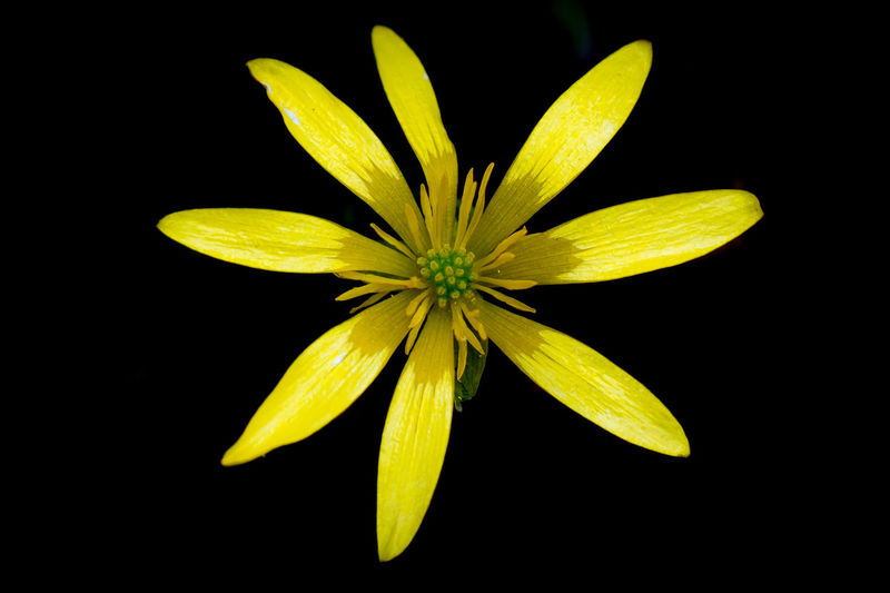 A single Lesser Celendine flower taken against a dark background in the field. Celendines Beauty In Nature Black Background Close-up Flower Freshness Macro Natural Light Photography Nature No People Petal Plant Wild Flower Yellow