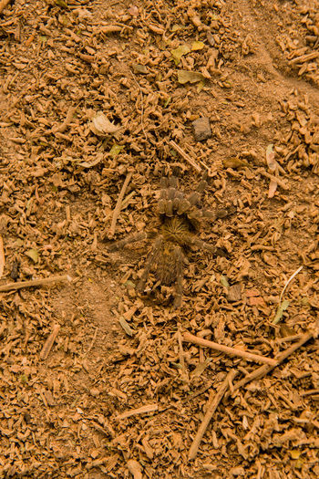 Baboon spider in the savanna of in Zimbabwe, South Africa Animals In The Wild Charara Safari Area Harpactirinae Lake Kariba National Park Nature Savannah South Africa Theraphosidae Webspinning Zimbabwe Animal Animal Themes Arachnids Baboon Spider Female Kariba Landscape Mammal Pterinochilus Safari Tarantulas Victoria Falls Wildlife Wildlife Reserve