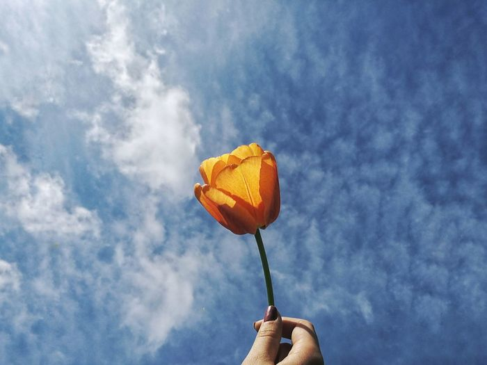 Human Hand Human Body Part Cloud - Sky Sky Holding Orange - Fruit One Person Outdoors Real People People Adults Only Freshness Day Only Women Adult Flower Tulip Sky Cloudy Clouds Cloud