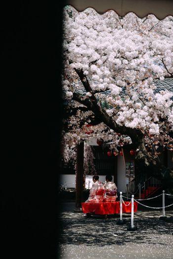 At gion center Gion Kyoto Girls Kimono Sakura Blossom Sakura