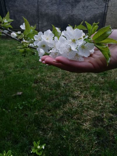 Cropped image of hand holding white flowers