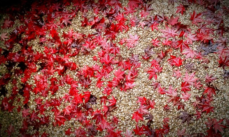 ♧♣ Red Color Lift Rosso Autumn Autunno  Acero Viale Street Strada Rain Rain Day Pioggia Sassolini Colors Colori Italy Piante Plants Art Is Everywhere No People Day Full Frame Outdoors Fragility Beauty In Nature Flower Petal Nature Backgrounds Freshness