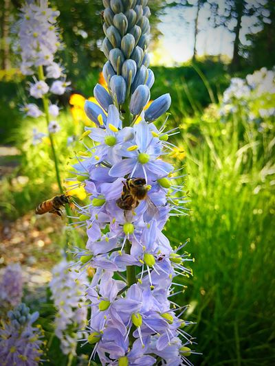 Flower Insect Animal Themes Nature One Animal Growth Plant Animals In The Wild Purple Bee Beauty In Nature Outdoors Day Petal No People Fragility Pollination Animal Wildlife Flower Head Freshness Missouri Native HoneyBee Shaw Nature Reserve