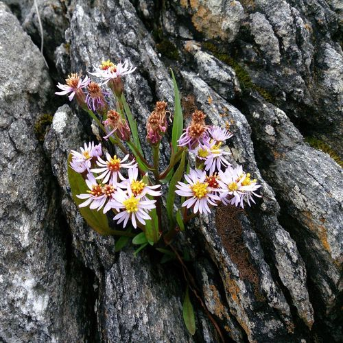 Flower Atlanterhavsveien Eide På Nordmøre Norway