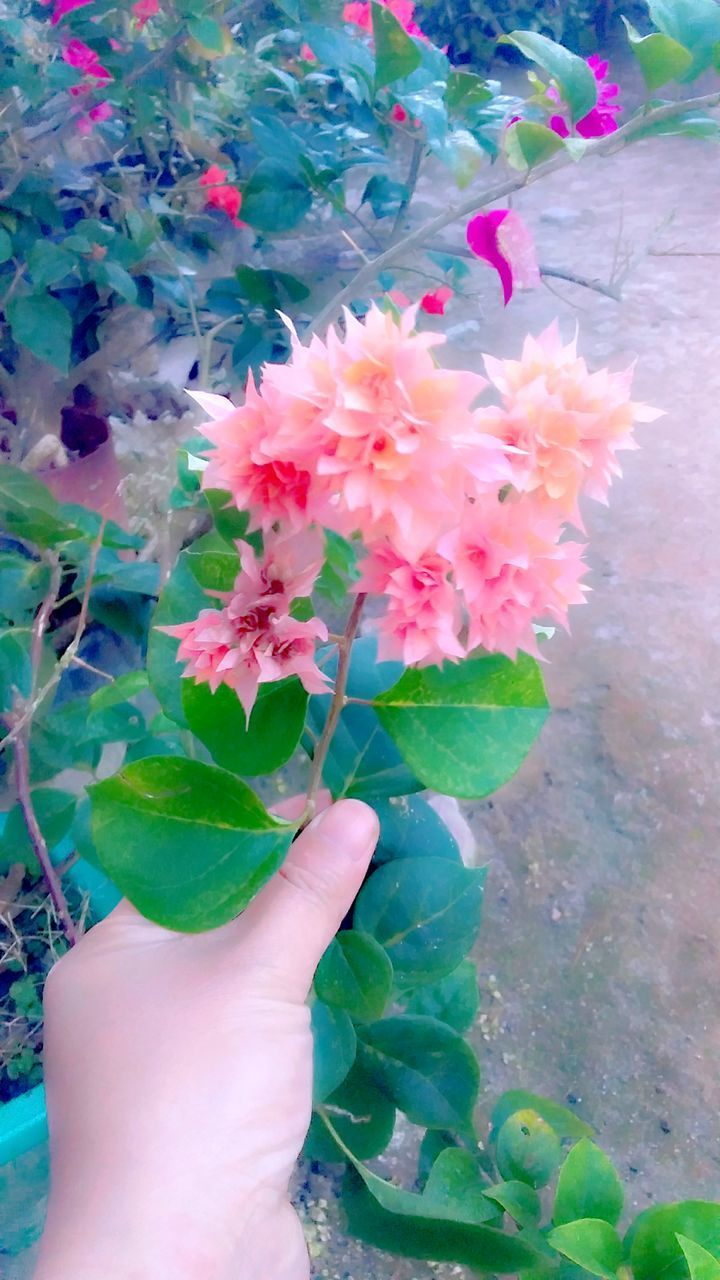 human hand, plant, hand, flower, flowering plant, one person, human body part, real people, holding, freshness, personal perspective, fragility, vulnerability, beauty in nature, close-up, plant part, nature, unrecognizable person, leaf, flower head, body part, pink color, finger, outdoors