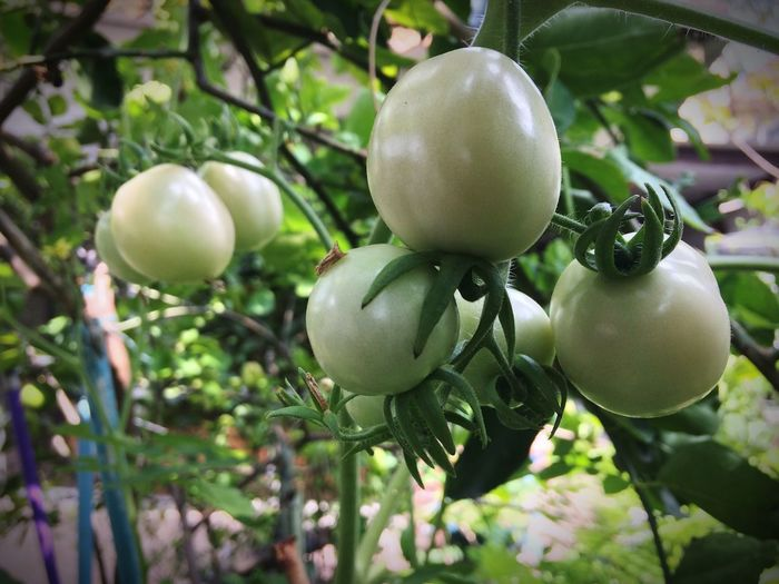 Tomato Tomato Food And Drink Fruit Growth Food Outdoors Unripe Tree