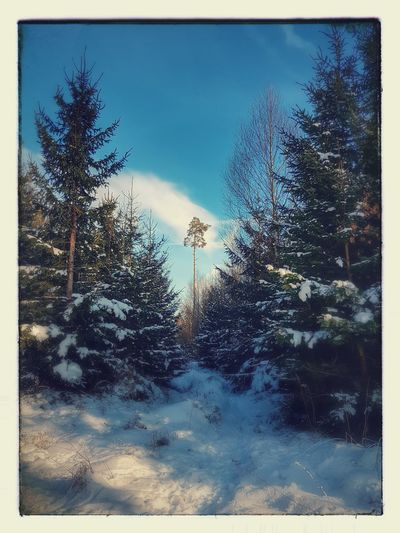 Winter Wonderland Snow Tree Forest Sky Close-up Pine Tree Pine Woodland Evergreen Tree Snowcapped Snow Covered #FREIHEITBERLIN