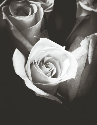 Roses Black And White Photography Black And White Roses Flowers Flowers,Plants & Garden The Week Of Eyeem Simplicity Black And White Roses White White Roses White Rose Fine Art Photography Black And White Flowers EyeEm Best Shots EyeEm Best Shots - Black + White Eyeem Best Shots - Roses Macro Light And Shadow Light Black And White Friday