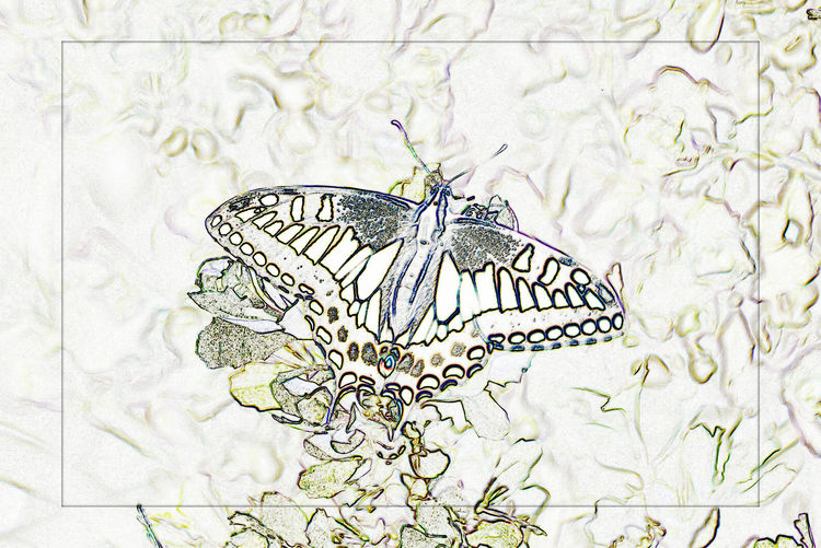 Tiger Swallowtail Butterfly @ San Leandro Shoreline Trail 4 Papilio Glaucus Papilioninae Butterfy Rendering Abstract Find Edges Female Butterfly Blue Spots HindwingsYellow & Black Stripes Nature Nature_collection