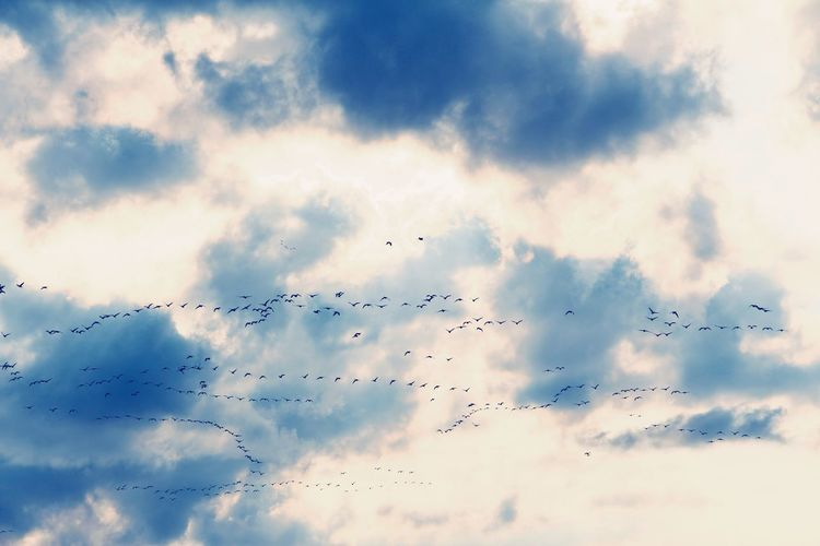 Migration of geese! Goose Geese Cloud - Sky Clouds And Sky Sunset Fly High Angle View High Bird Flying Spread Wings Mid-air Flock Of Birds Migrating Silhouette Sky Animal Themes Formation Flying Colony Animal Migration Group Of Animals