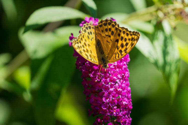 Close-up of a beautiful Orange Silver-washed fritillary (Argynnis paphia) Butterfly on a purple Flower in the Summertime. Silver-washed Fritillary Silver-washed Fritillary Argynnis Argynnis Paphia Plants Proboscis Sunlight Animal Wing Botany Butterfly Butterfly - Insect Close-up Flower Flower Head Flowering Plant Fragility Insect Invertebrate Nature No People Orange Color Petal Pollination Purple Spots Vulnerability