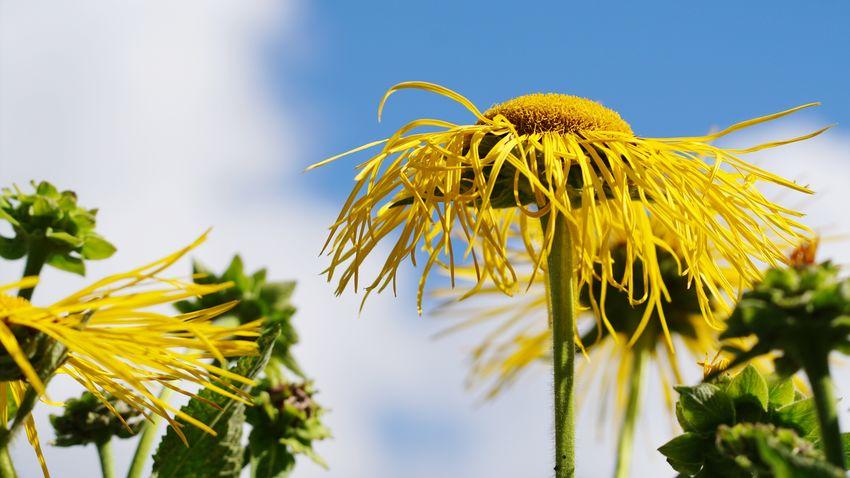 Blüte im blauen Himmel Gelbe Blüten Blütentraum EyeEm Selects Flower Head Flower Thistle Yellow Sunflower Summer Petal Uncultivated Sky Close-up In Bloom Blossom