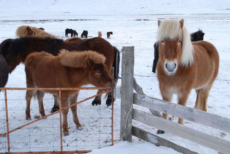 Horses on snow covered beach
