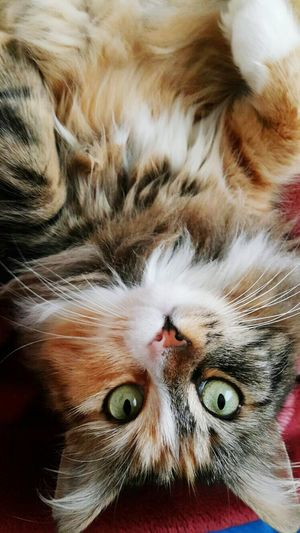 Miskin Cat Upside Down First Eyeem Photo Pisipisi