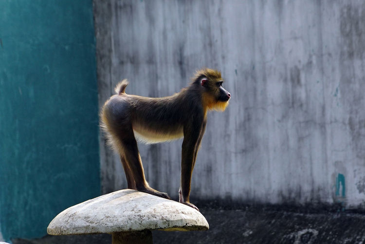 Mandrillus Sphinx Mandrill Monkey Animal Themes Animal One Animal Mammal No People Animal Wildlife Primate Monkey Vertebrate Animals In The Wild Side View Wall - Building Feature Focus On Foreground Animals In Captivity Nature Outdoors Full Length Pets Digital Composite