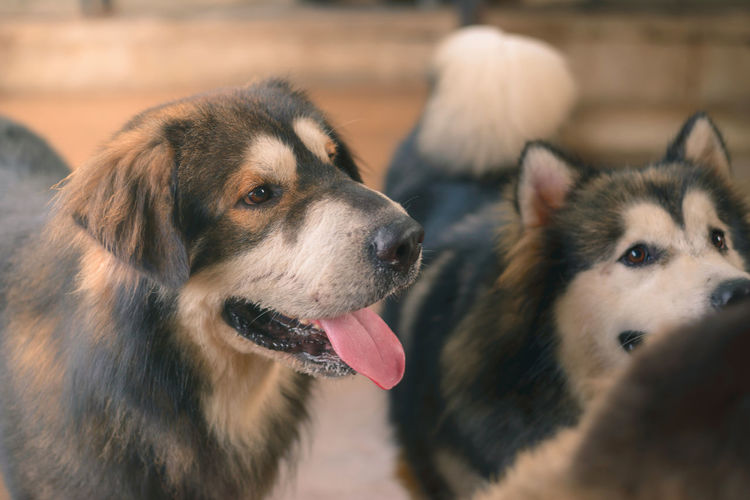 Dog Mammal Canine Animal Themes Animal Domestic Pets One Animal Domestic Animals Vertebrate Focus On Foreground Close-up Looking Looking Away No People Animal Head  Animal Body Part Day Mouth Open Snout Siberian Husky Tibetan  Tibetan Mastiff
