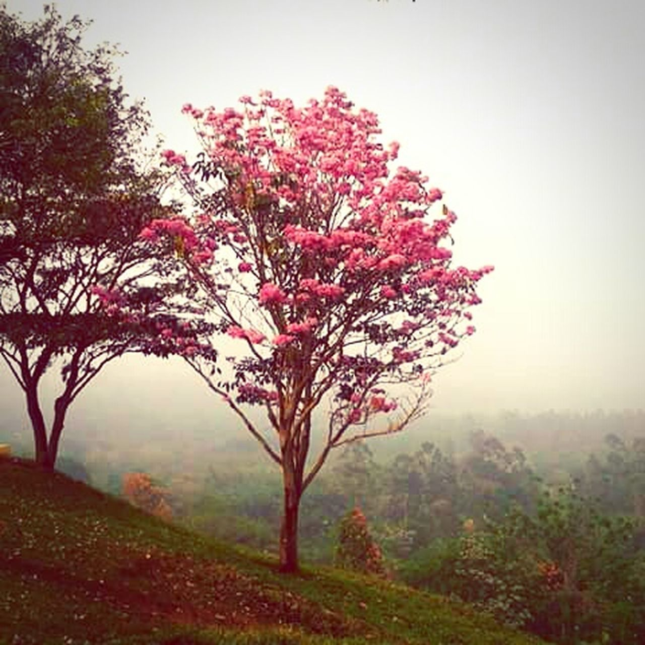 tree, nature, beauty in nature, landscape, fog, outdoors, autumn, scenics, growth, no people, tranquility, field, plant, flower, branch, day, red, freshness, leaf, dawn, sky, grass