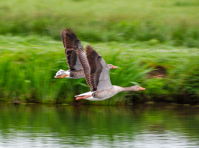 Flying geese over river