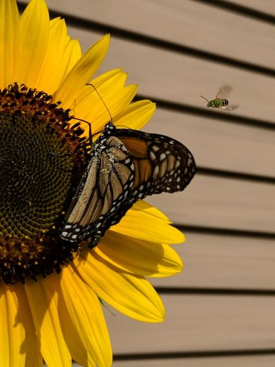 Flower Head Flower Perching Yellow Butterfly - Insect Petal Insect Sunflower Full Length Close-up