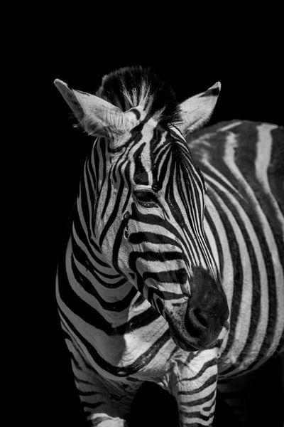 Animal Animal Themes Animal Wildlife Animals In The Wild Black And White Black Background Day Grevy's Zebra HEAD Headshot Imperial Zebra Mammal Mono Monochrome Nature Nature One Animal Outdoors Shadow Shadows Standing Striped Wildlife Zebra Zebra