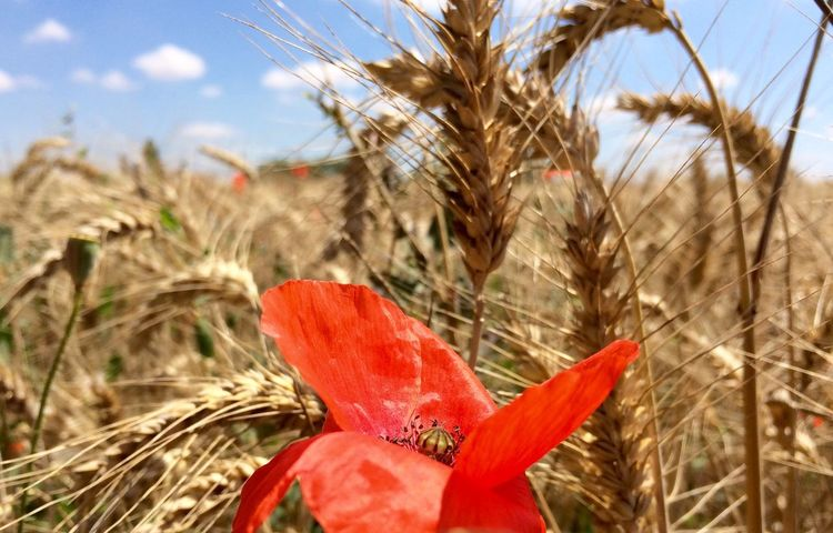 Live For The Story Coquelicot et champ de blé Nature Flower Growth Beauty In Nature Field Plant Sky Outdoors Red Fragility Freshness Agriculture Flower Head Cereal Plant Petal Poppy Wheat Rural Scene Spring Springtime Spring Flowers The Great Outdoors - 2017 EyeEm Awards EyeEm Best Shots EyeEmNewHere