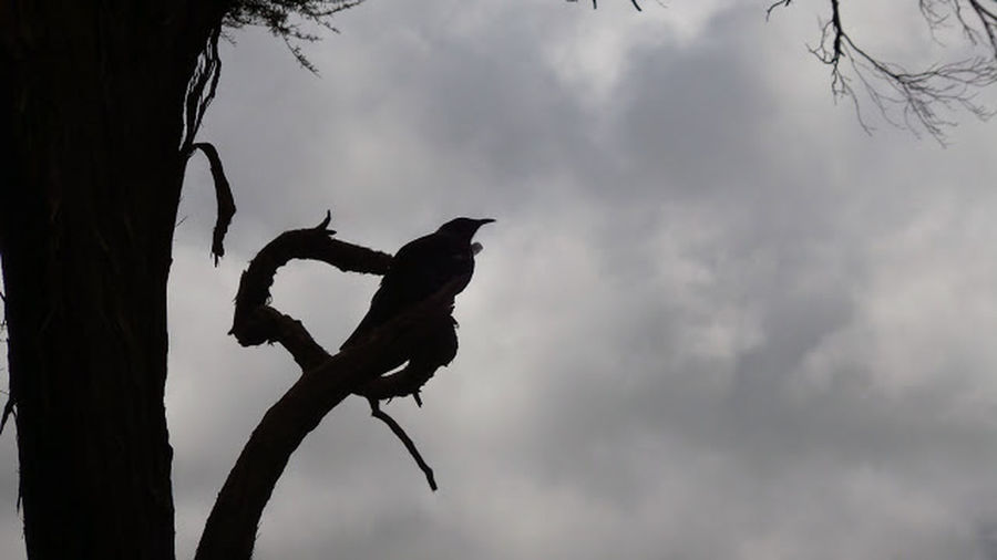 Tui in the Wellington Botanic Gardens Animals In The Wild Silhouette Perching No People Sky Tui First Eyeem Photo