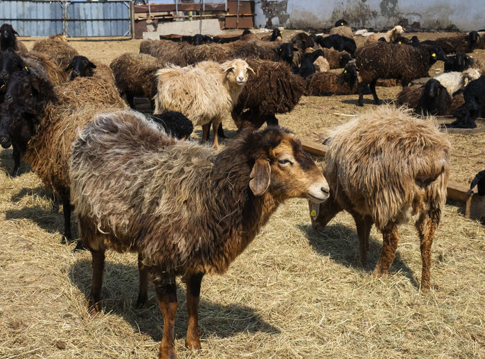 Sheep Mammal Livestock Group Of Animals Domestic Animals Animal Animal Themes Domestic Pets Vertebrate Land Field Agriculture No People Large Group Of Animals Day Nature Animal Wildlife Animals In The Wild Landscape Herbivorous Outdoors Herd
