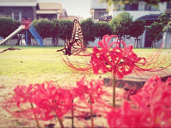 チョウチョと戯れ Spiderlily In Bloom Red Color Butterfly Nature Photography Insect Photography Iphonephotography From My Point Of View Autumn 花追い Flower Park September 2016 Fukuoka,Japan