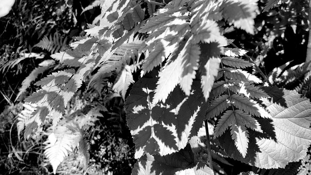 | leaves shadows | Leaves Blätter Schatten Shadow Monochromeart Monochrom Monochrome_life Monoart Monochromatic Monochrome Bnw Bnw_collection Bnw_life Bnw_society Bnw_switzerland Bnwphotography Blackandwhite Eyem Best Shots - Black + White Nature Naturelovers Hello World Hanging Out Art ArtWork Photooftheday