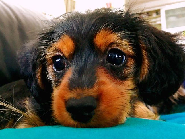 Puppy Dog Hybrid Crossbreed Dachshund Dachshund-cross 犬 ダックスフンド ミックス犬 Chihuahua Yorkie Yorkshire Terrier チワワ ヨークシャテリア ヨーキー