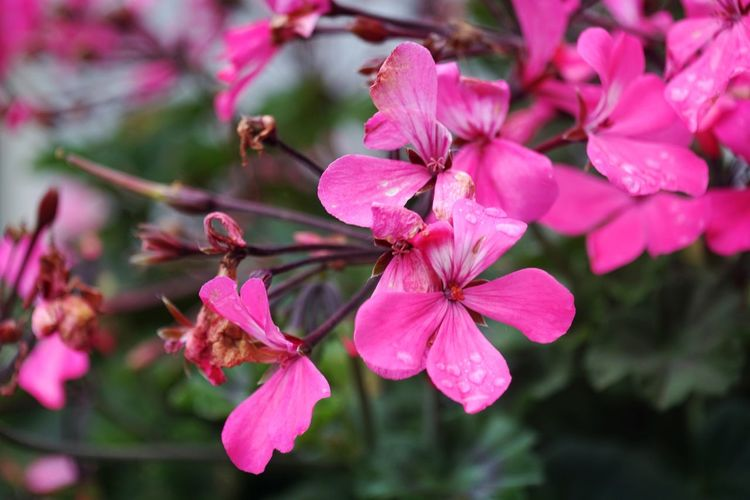 Flower Pink Color Blossom Nature Springtime Beauty In Nature Fragility Flower Head Freshness Plant Close-up Outdoors Day