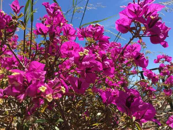 Flower Pink Color Fragility Growth Beauty In Nature Petal Freshness Nature No People Blossom Branch Low Angle View Springtime Day Tree Bougainvillea Outdoors Blooming Flower Head Close-up