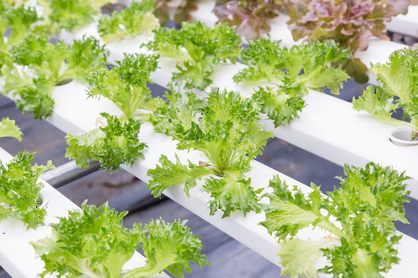 Hydroponics greenhouse. Organic green vegetables salad in hydroponics farm for health, food and agriculture concept design. Hydroponics is a non soil plant. Agriculture Farm Green Growth Nature Plant Background Close-up Coriander Day Environment Farming Food Food And Drink Fresh Freshness Garden Green Color Greenhouse Grow Health Healthy Healthy Eating Herb High Angle View Hydroponic Vegetables Hydroponics Indoors  Leaf Mint Leaf - Culinary Nature No People Organic Plant Plant Part Selective Focus Still Life System Table Technology Tray Vegetable Water Wellbeing