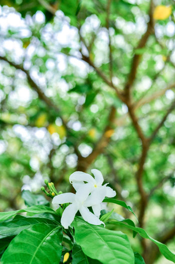 Close-up of white flower blooming on tree